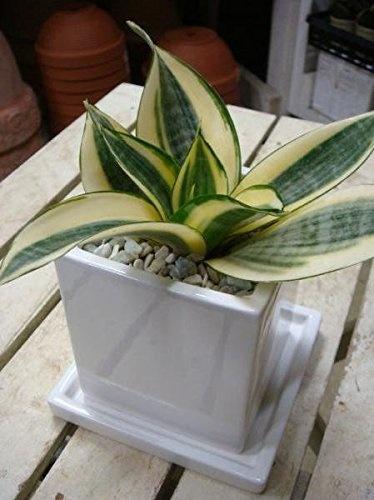 14a91bbc34c2cb42d3a9e0c70a7f297c ワンルームでも育てやすいミニ観葉植物8種を特集!小さい植物を育てよう
