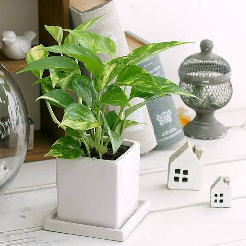 b5f048ccd4138c3621b26431fbb45afc ワンルームでも育てやすいミニ観葉植物8種を特集!小さい植物を育てよう