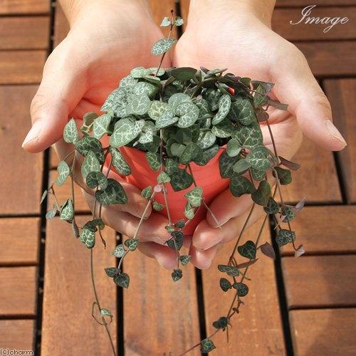 d9a40c417dc6c99102e335f9388ad793 ワンルームでも育てやすいミニ観葉植物8種を特集!小さい植物を育てよう